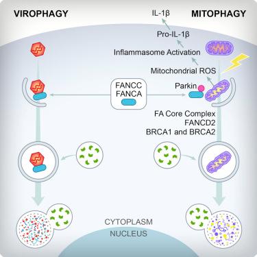 Cell:范可尼贫血基因也在自噬和免疫中发挥功能