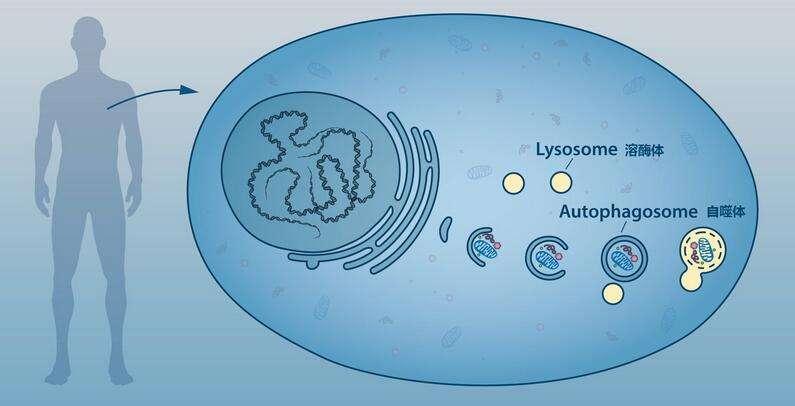 Mol Psychiatr:细胞自噬在精神分裂症中发挥关键性作用